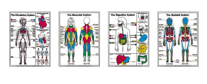 Grades 4-6 Anatomy Posters