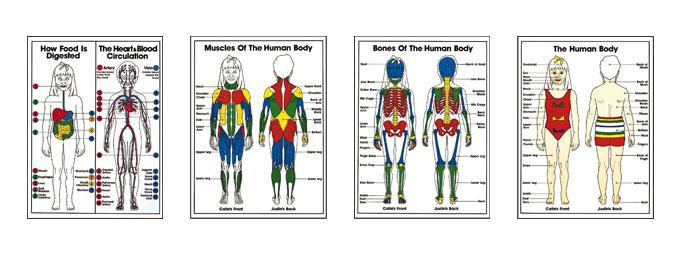 Grades K-3 Anatomy Posters