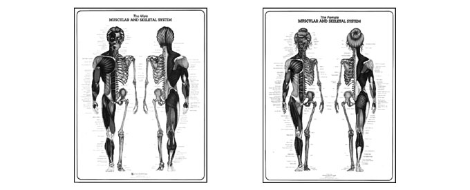 Muscular & Skeletal System Study Sheet