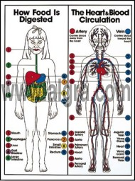 Digestive & Blood Circulation Poster