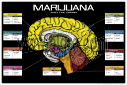 Marijuana and the Brain 8 1/2 x 11 Color Transparency