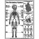 Circulatory System Coloring Sheet