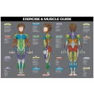 Female Exercise & Muscle Guide Poster 2017