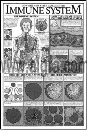 How the Aids Virus Damages the Immune System Study Sheet s