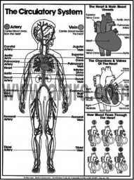 Circulatory System Coloring Sheet