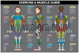 Male Exercise & Muscle Guide Poster 2017