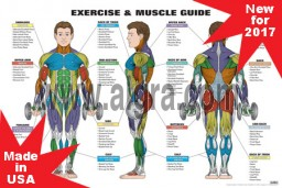 Male Exercise & Muscle Guide Poster 2017 NEW!